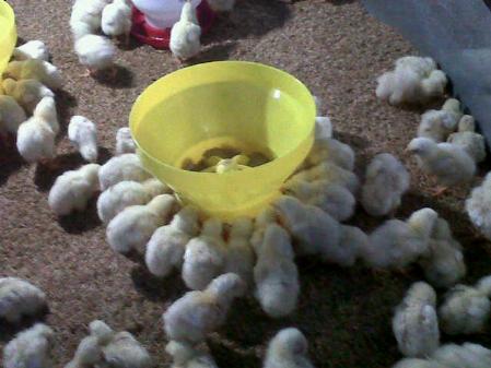 Cara menghitung FCR Ayam Broiler