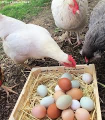 Ayam makan telur